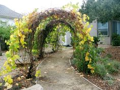 grape vine tunnel - illusion of long tunnel, but with spaces for exiting. two, flanking the pruned apple tree Grape Vine Pruning, Grape Vine Trellis, Grape Vines, Palette Planter, Grape Plant, Grape Arbor, Garden Arches, Garden Structures, Garden Spaces