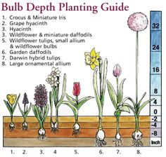 How to plant a flower bulb  How To Grow