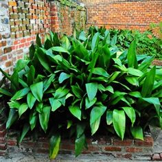 Aspidistra elatior 'Cast Iron Plant'. Someone once told me this plant would grow in a closet!  Needs shade, spreads into thick clumps, drought tolerant. Also makes a nice house plant for low light situations.