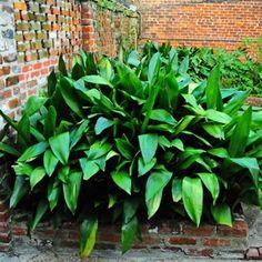 Aspidistra elatior 'Cast Iron Plant'
