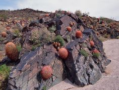 Desert barrel cactus, colonizing a rock outcrop, Mojave National Preserve, CA. So Beautiful fire cactus Succulent Bonsai, Cacti And Succulents, Planting Succulents, Cactus Plants, Weird Plants, Unusual Plants, Exotic Plants, Rock Garden Plants, Desert Plants