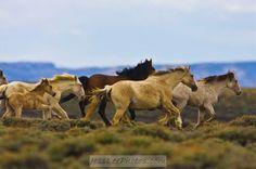Wild Mustang Horses Herds   Wild Horse Herd Red Desert   Mustang Horses