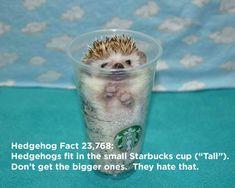 Twenty Incredible Hedgehog Facts That Will Astound You Hedgehog Facts, Hedgehog Pet, Cute Funny Animals, Cute Baby Animals, Animal Jokes, Funny Facts, Exotic Pets, Mind Blown, The Twenties