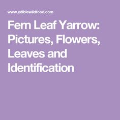 Fern Leaf Yarrow: Pictures, Flowers, Leaves and Identification