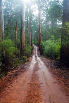 Maiden Bush Trail between the Karri Trees in Warren National Park, Western Australia Australian Photography, Nature Photography, Tree Lined Driveway, Australia Landscape, Australian Native Garden, Land Of Oz, Wild Forest, Australia Photos, Western Australia