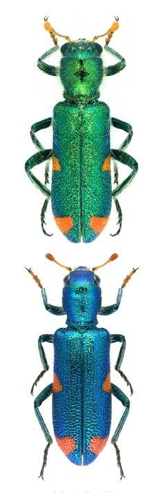 Trichodes quadriguttatus (Adams, 1817) F Cleoridea