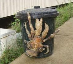 These alarmingly large Coconut Crabs are related to hermit crabs, but get much larger -  up to 3 ft across.   Their claws are capable of lifting up to 64 lbs.  The eggs hatch and the larvae live in the sea for the first few years.  Then they crawl out and become terrestrial crabs.  They have been known to steal shiny objects from people. by randi