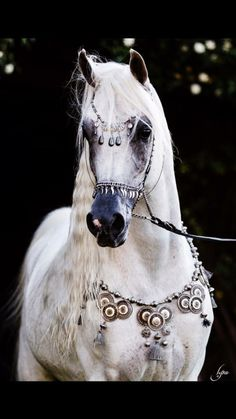 Stunning grey arabian horse with beautiful tack.