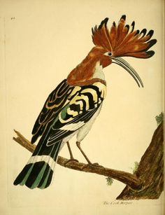Cock Hoopoe. A natural history of birds v. 2 London :Printed for the author and sold by William Innys in St. Paul's Church yard, John Clarke under the Royal-Exchange, Cornhill, and John Brindley at the King's Arms in New Bond-Street,MDCCXXXI-MDCCXXXVIII [1731-1738]. Biodiversitylibrary. Biodivlibrary. BHL. Biodiversity Heritage Library