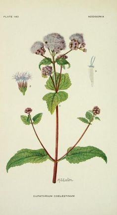 Eupatorium Coelestinum (Mist-flower). Plate from 'Addisonia' Published 1916 by New York Botanical Garden       archive.org