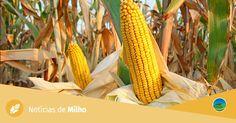 Escolha da melhor semente de milho é fundamental - Notícias Agrícolas