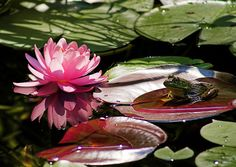 Frog and Lily Pad