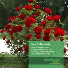 Hope for Humanity Rose Grandmas Garden, Types Of Roses, Rose Bush, Garden Theme, Serenity, Bloom, Gardens, Nursery, Yard