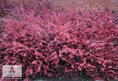 Berberis thunbergii 'Pink Queen' - Berberys Thunberga 'Pink Queen'