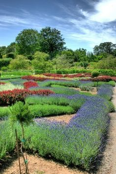 Celtic Knot Garden with Lavender