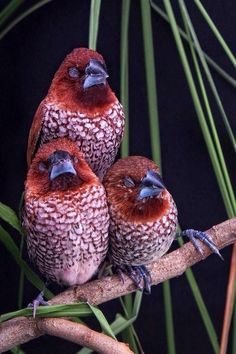 Three little birds on my doorstep, singin a sweet song, a melody pure and true