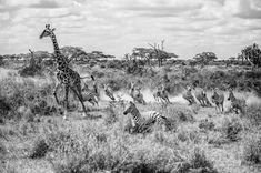 """SEPTEMBER 15, 2016 RUNNING WILD A giraffe leads a herd of zebras as the animals stampede from a threat unseen. Your Shot photographer Mohammed AlNaser captured this image in Tanzania's Serengeti National Park. The zebras """"emerged from nowhere,"""" AlNaser writes.  PHOTOGRAPH BY MOHAMMED ALNASER, NATIONAL GEOGRAPHIC YOUR SHOT"""