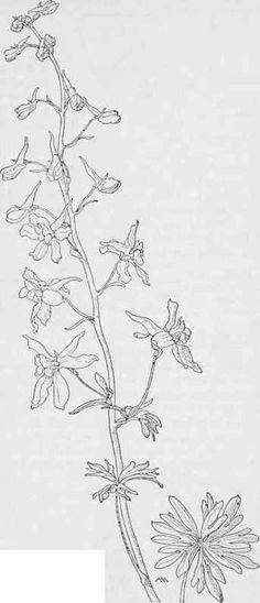 Blue Larkspur Delphinium bicolor