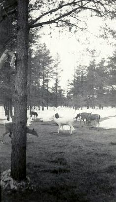 Albino deer from 1950s Boulder Junction Visitor Guide