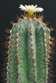 Astrophytum ornatum, Mexico by graftedno1