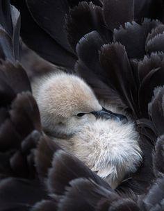 Fluffy black swan cygnet, nestled on mother's back. Swan Love, Beautiful Swan, Beautiful Birds, Animals For Kids, Animals And Pets, Baby Animals, Cute Animals, Mundo Animal, My Animal