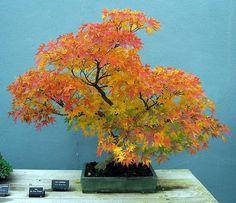 ~~Japanese Maple Bonsai - Autumn by dugspr~~