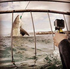 Imagem impressionante mostra grande tubarão branco saltando fora da água na África do Sul (Foto: Reprodução/Facebook/White Shark Africa - Shark Program)