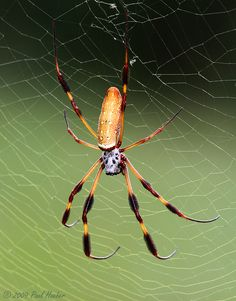 Golden Silk Orbweaver (Nephila clavipes) | par Paul Hueber