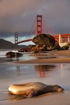 Marshall Beach seal chillin' with view of Golden Gate Bridge. San Francisco, CA by parkmerced San Francisco City, San Francisco Travel, San Francisco California, California Dreamin', California Vacation, Northern California, Fairmont Hotel, Puente Golden Gate, Nova Orleans