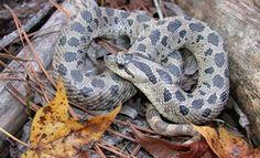 Southern Hognose Snake (Heterodon simus)  http://srelherp.uga.edu/snakes/hetsim.htm