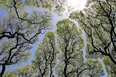 The Phenomenon of 'Crown Shyness' Where Trees Avoid Touching