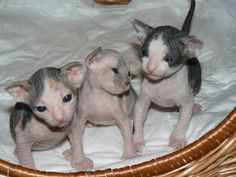 Donskoy Cat Kittens Pictures