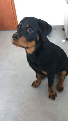 Colorado Rottweiler Puppies For Sale Through A Friend Of Mine