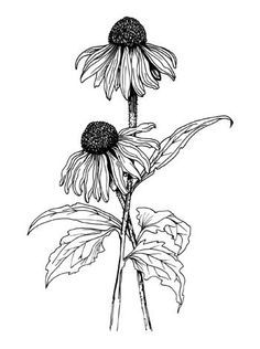 cone flower sketch - Google Search