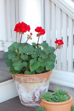 I do love a red geranium in a weathered terracotta pot... I am totally turning into my mother/aunt as I get older @Laurel Wypkema Wypkema Wypkema Bowman