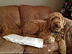 Spencer the Goldendoodle working on his Christmas cards!!!  #Christmas #Goldendoodle