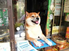 "He is locally famous because he opens the window and greets customers when they come to buy cigarettes. | This Shiba Inu ""Works"" At A Little Shop In Japan And It Is Precious"