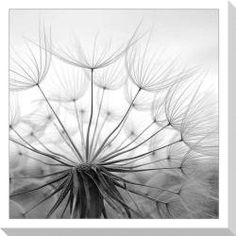 @Overstock - Title: Dandelion Product type: Canvas giclee Image dimensions: 40 inches high x 40 inches wide.