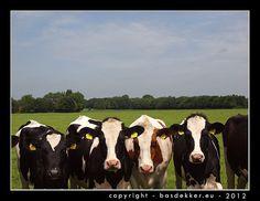 rij jonge koeien aan rand van weiland, Voshoek, Steenwijkerwold