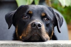 Can anyone own a Rottweiler? Picking the right dog breed for you and your family