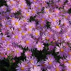 Designs For Garden Flower Beds Aster amellus 'Rosa Erfullung' Michaelmas Daisy, Aster, Flower Beds, Green Leaves, Amazing Gardens, Garden Plants, Perennials, Pink Flowers, Greenery