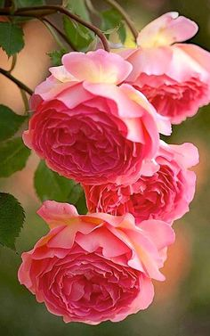 New Flowers Pink Roses Ana Rosa Ideas Amazing Flowers, Beautiful Roses, My Flower, Pink Flowers, Beautiful Flowers, Pink Peonies, Colorful Roses, Beautiful Gardens, Small Flowers