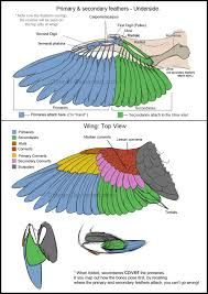 wings anatomy - Google Search