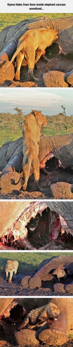 funny-hyena-lion-hide-elephant-carcass