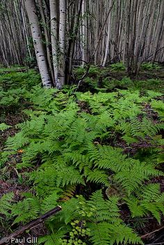 bracken ferns and aspen forest at 10,000 ft, Terry Flat Loop, Esculdia Mountain, Apache and Sitgreaves National Forests, Arizona