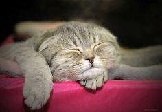 sleeping #cat  #ScottishFold