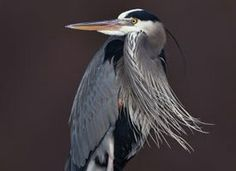 Learn how to identify Great Blue Heron, its life history, cool facts, sounds and calls, and watch videos. Whether poised at a river bend or cruising the coastline with slow, deep wingbeats, the Great Blue Heron is a majestic sight. This stately heron with its subtle blue-gray plumage often stands motionless as it scans for prey or wades belly deep with long, deliberate steps. They may move slowly, but Great Blue Herons can strike like lightning to grab a fish or snap up a gopher. In flight…