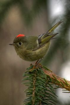 Ruby-Crowned Kinglet -- so tiny!