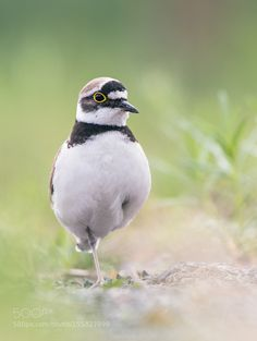 Little ringed plover by holger2061 #animals #animal #pet #pets #animales #animallovers #photooftheday #amazing #picoftheday