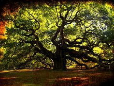 Article about 10 amazing trees! The one pictured is called the Angel Oak located in South Carolina. Its believed to be the oldest living oak in the country, dating back to 1500+ years old.